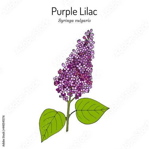 Valokuva Purple lilac Syringa vulgaris state flower of New Hampshire.
