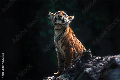 Canvas Sumatran tiger kitten