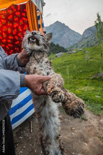 Body of a dead lynx in Fann mountains, Tajikistan
