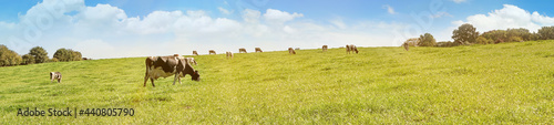 Fotografie, Obraz Cows grazing on a Field in Summertime - Cow Meadow Panorama