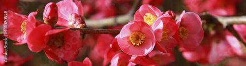 Leinwand Poster Fleurs de Chaenomeles