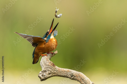 Obraz na plátně Male kingfisher tosses a recently caught fish in the air to get it better orientated to swallow