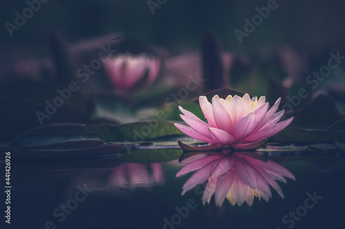 Carta da parati Lotus flower or  waterlily floating on the water