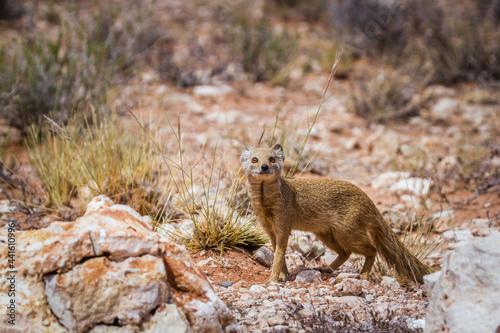 Slika na platnu Yellow mongoose looking at camera in scrubland in Kgalagadi transfrontier park,
