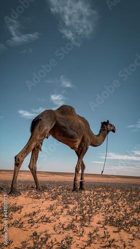 Obraz na plátně camel in desert