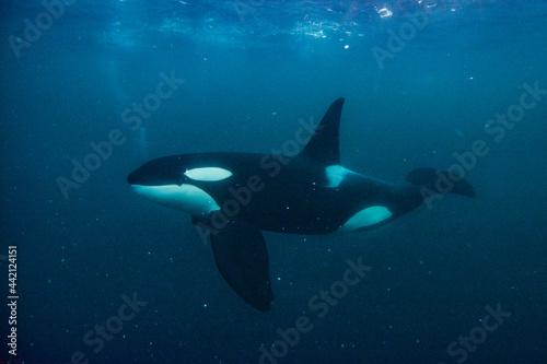Orca in the Arctic ocean Fototapet