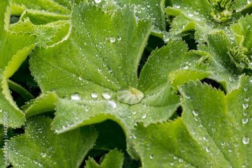 Stampa su Tela Alchemilla mollis landy's mantle herb with lotus effect in rain2