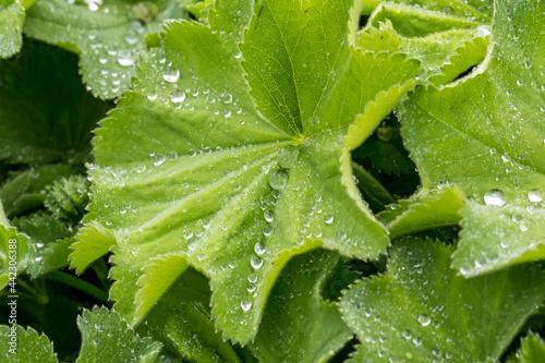 Fotografia Alchemilla mollis landy's mantle herb with lotus effect in rain3