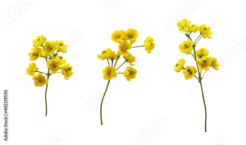 Set of small yellow flowers of berberis thunbergii isolated