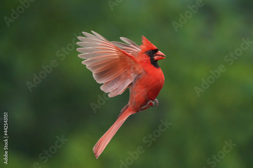 Northern Cardinal perching on branch or flying up to bird feeder for a bite of s Tapéta, Fotótapéta