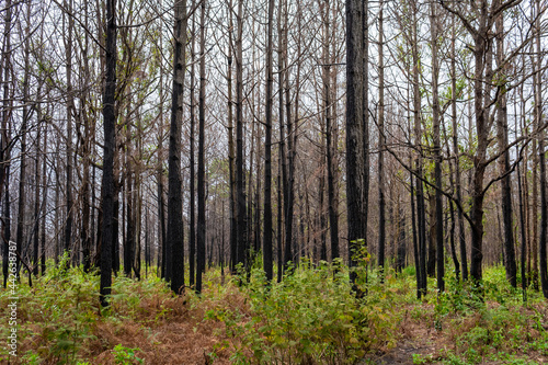 Obraz na plátně Pine forest Phu kradueng mountain in Loei in Thailand Resurrected after being burn