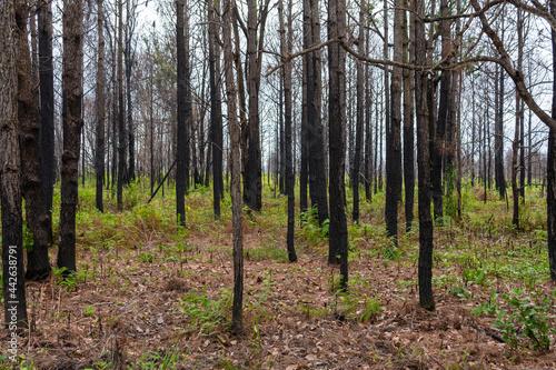 Fotografie, Obraz Pine forest Phu kradueng mountain in Loei in Thailand Resurrected after being burn