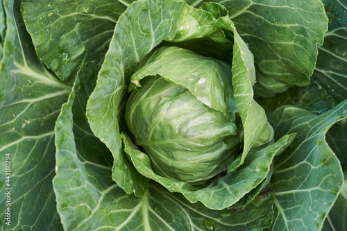 Cuadros en Lienzo Green cabbage leaves background, close-up
