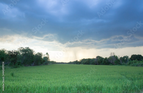 Fotografie, Obraz Super storm Dark and cloud in the evening before raining over the rice field