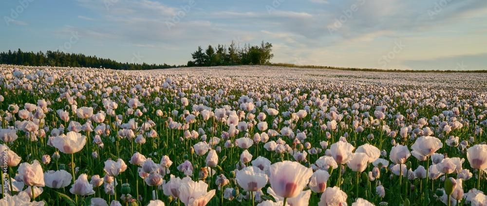 White poppy field under sunset light - obrazy, fototapety, plakaty