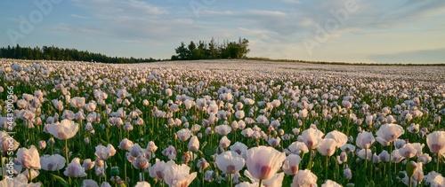 White poppy field under sunset light