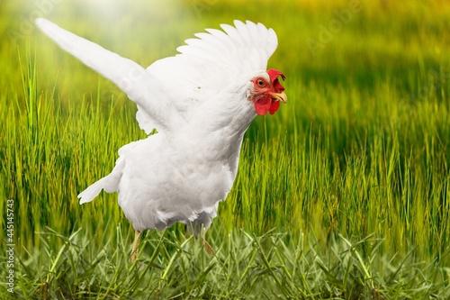 Fotografie, Tablou Chicken.