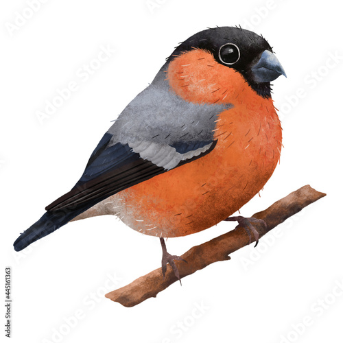 Realistic cutr illustration of tiny red eurasian bullfinch bird on the branch Fotobehang