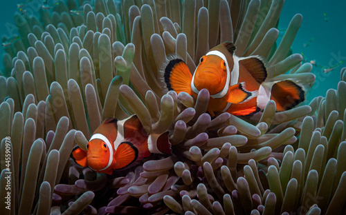 Fotografering A pair of orange clown fish looking at the camera swimming out of the anemone ag