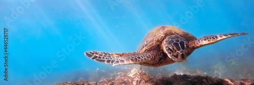 Fototapeta Green sea turtle above coral reef underwater, blue ocean in sunny tropical day