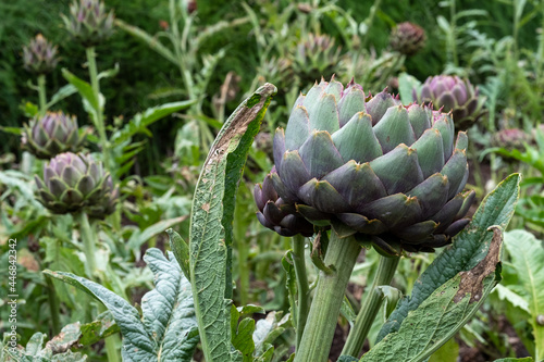 Canvas Print Artichokes growing in a vegetable garden in North Norfolk, East Anglia UK