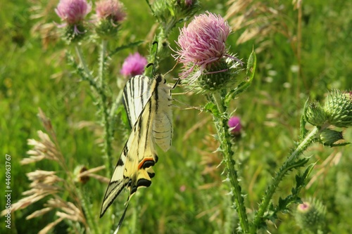 Canvas-taulu Machaon butterfly on a thistle flower in the meadow