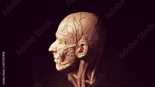 Photo Human Ecorche Flayed Head Face Anatomical Musculature Display Halloween Sculptur