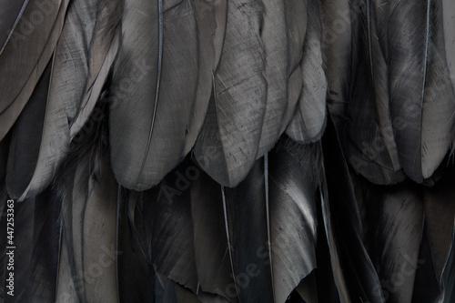 Obraz na plátně Black swan feathers texture background