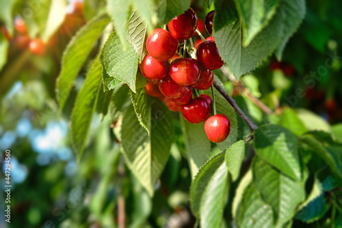 Red cherry fruits on the branches of the tree swing in the wind. Fotobehang