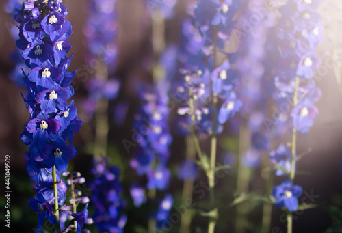 Fotografia Summer background with Delphinium flowers