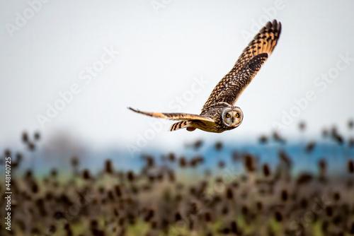 Slika na platnu Short eared owl flying over scrubland teasel plants at dusk in winter
