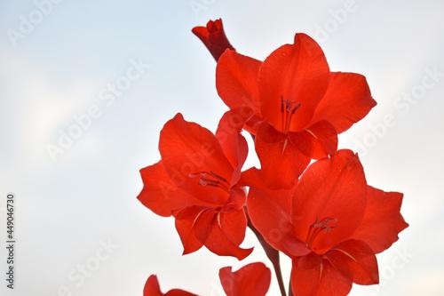Photo Light pink gladioli on a bush in summe