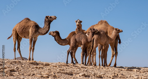 Photo A group of camels resting in a remote desert region.