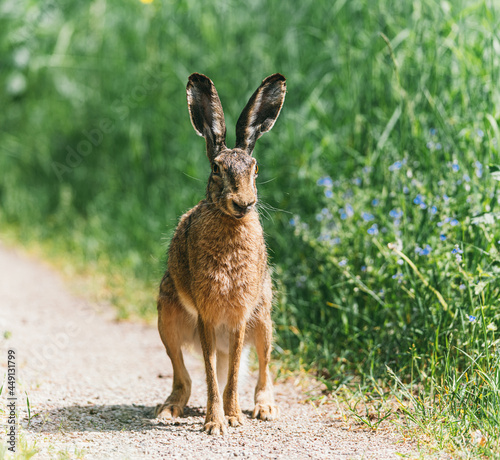 Obraz na plátně Large adult gray hare with long ears in full growth on green grass on sunny day