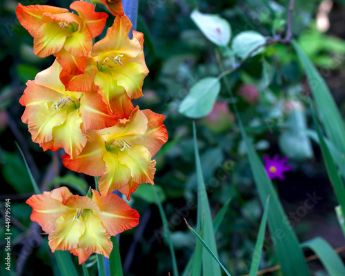 Canvas Print large varietal gladioli of yellow color are located on the side of the backgroun