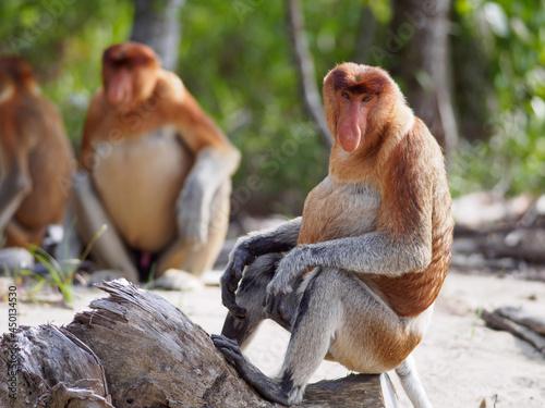 Wallpaper Mural Proboscis Monkies Sitting On A Beach In Bako National Park