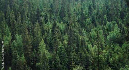 Billede på lærred High Angle View Of Pine Trees In Forest
