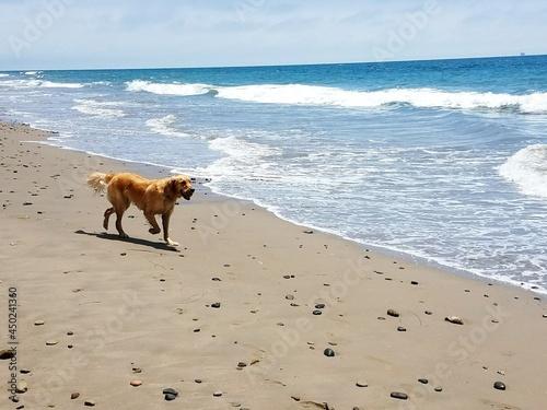Golden Retriever Playing Along The Beach In Santa Barbara Fototapeta