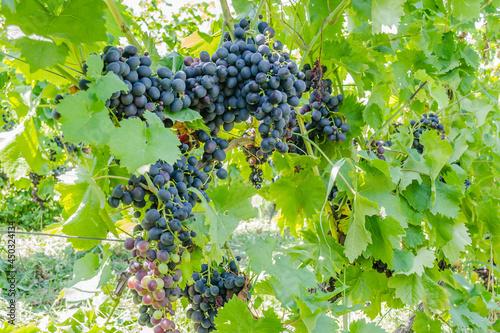 Foto Grape vines at harvest time
