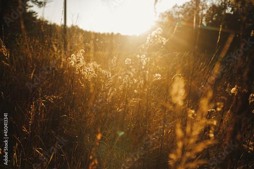 Obraz na plátně Beautiful autumn wild grass in evening sunlight, close up