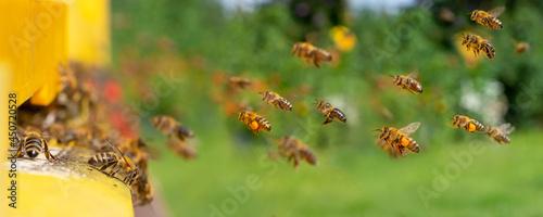 Photo bee hive - bee breeding (Apis mellifera) close up