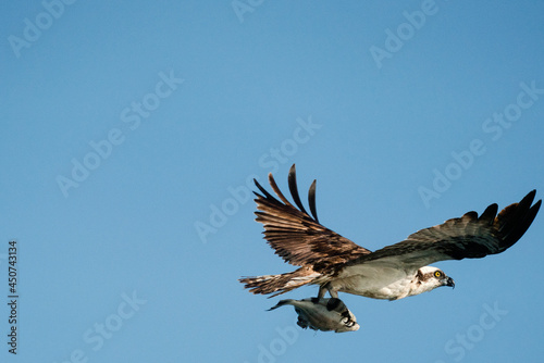 Canvas-taulu Closeup view of an osprey in flight carrying a flounder