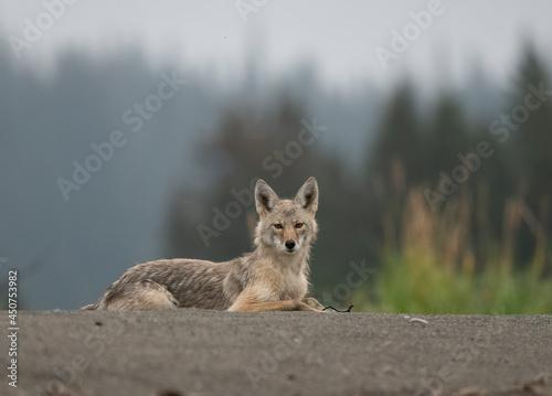 Reclining Coyote, Lake Clark, Alaska Tapéta, Fotótapéta