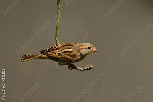 Obraz na plátně House Sparrow