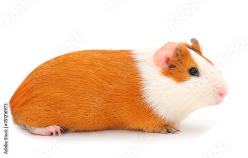 Fotografie, Obraz Guinea pig isolated.