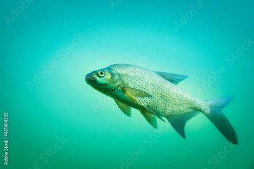 Fototapeta Carp at a fish pond under water