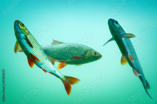 Fotografie, Obraz Carp at a fish pond under water