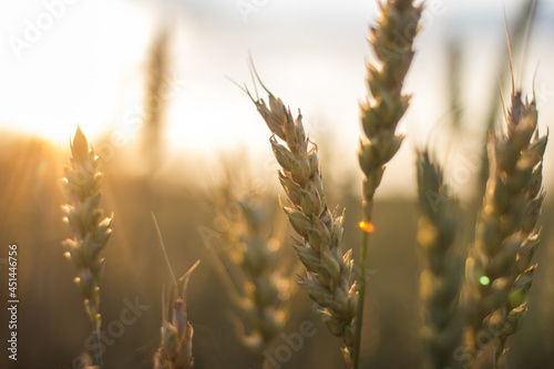 Canvas golden wheat field