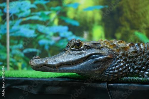 Fototapeta Crocodile in a terrarium close up (Crocodilia)