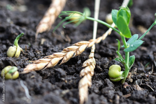 Fényképezés Green peas growing in field where wheat plants were harvested, cover crops to im